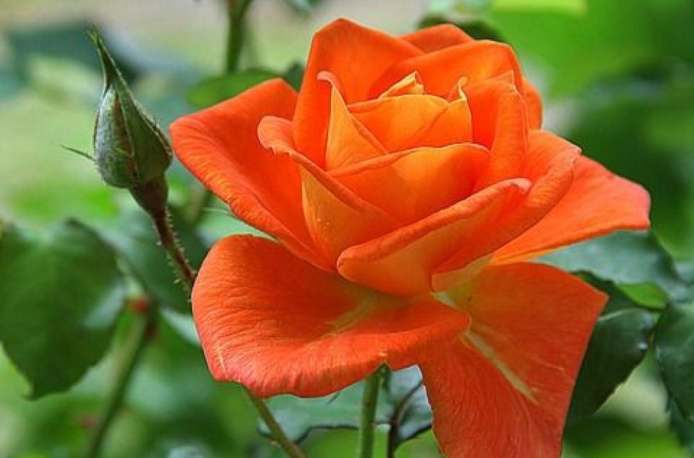 Rose, de Juin à Septembre
