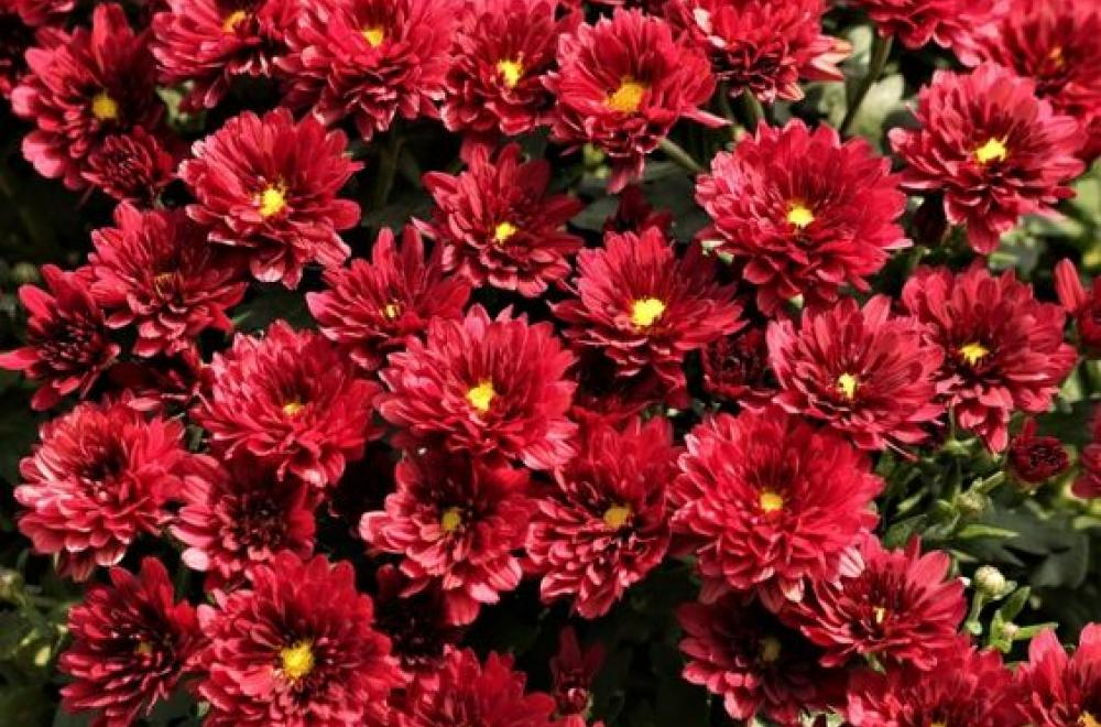 Chrysanthème, d'Août à Novembre