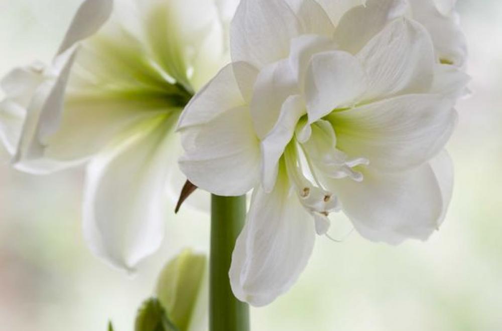 Amaryllis, de Décembre à Avril