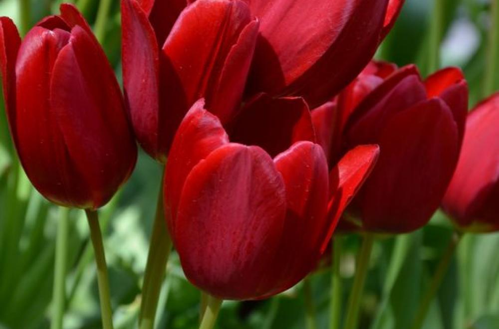 Tulipe, en Avril et Mai