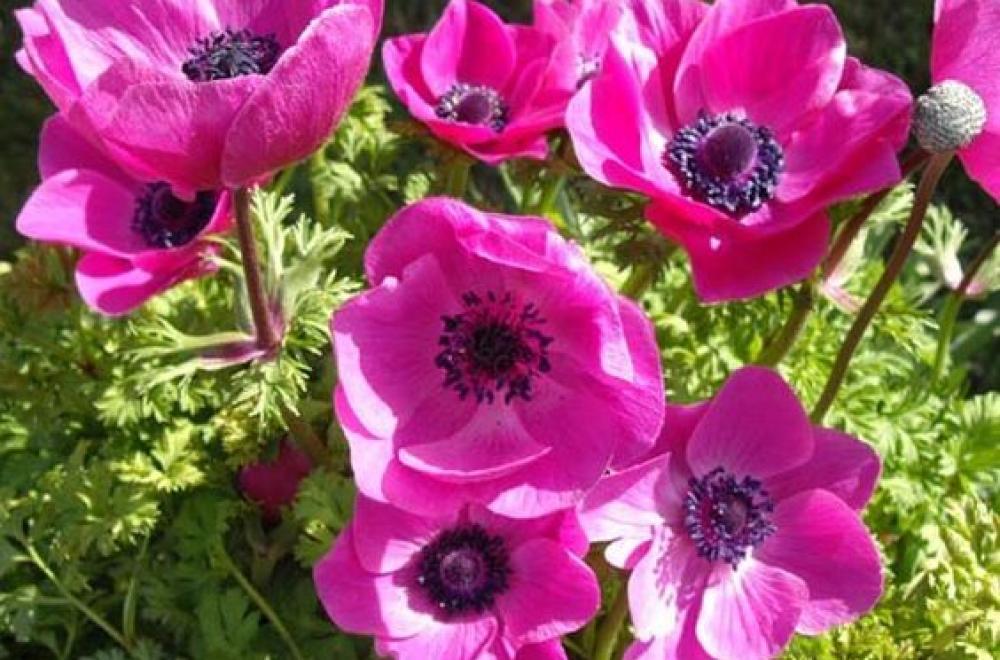 Anémone des fleuristes, en Avril et Mai