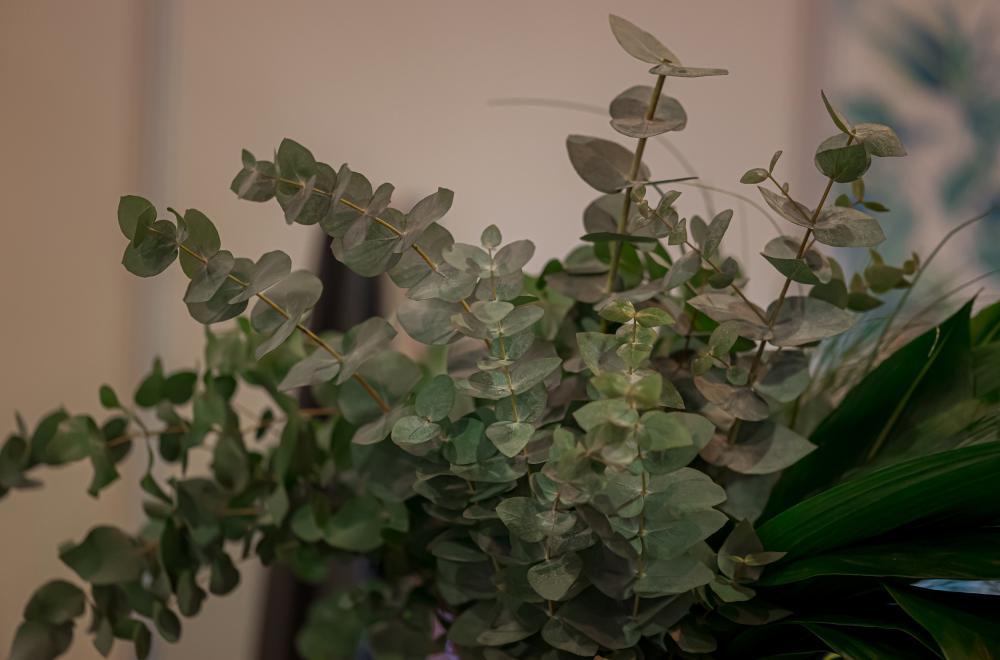 eucalyptus feuilles rondes