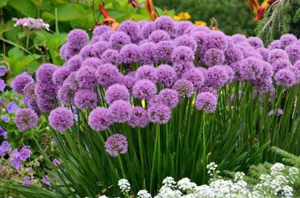 Allium, d'Avril à Août