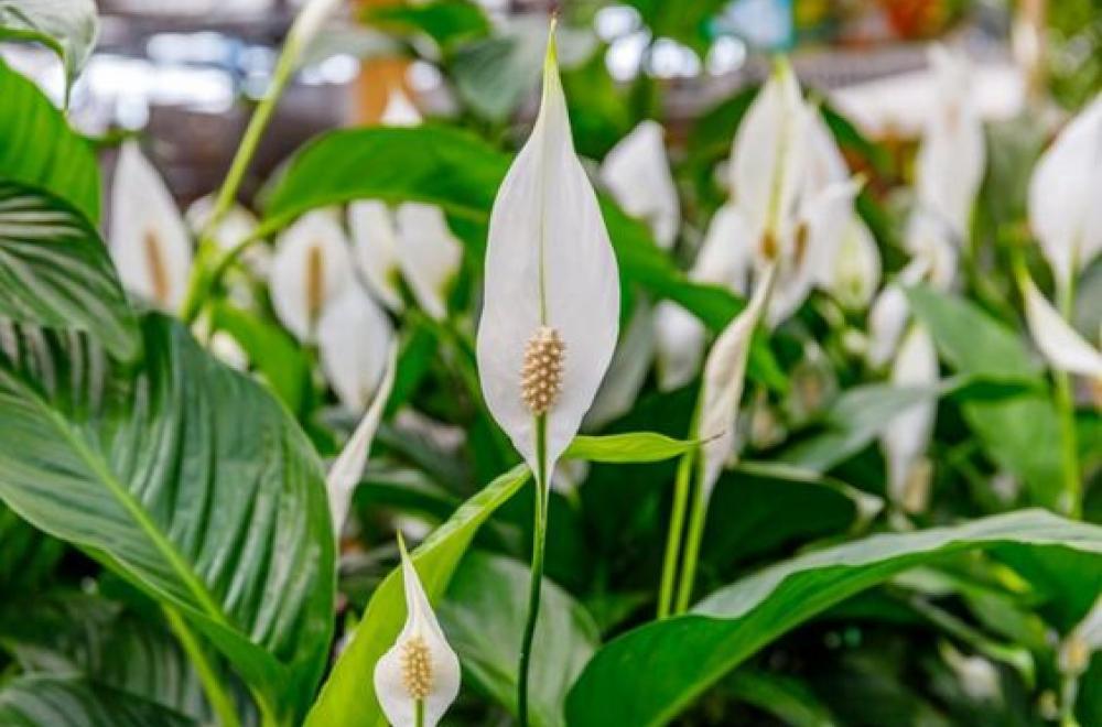Spathiphyllum, durant toute l'année