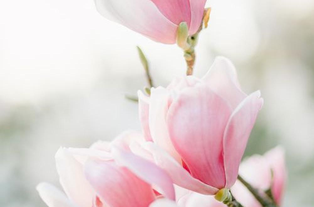 Magnolia, de Mars à Juillet