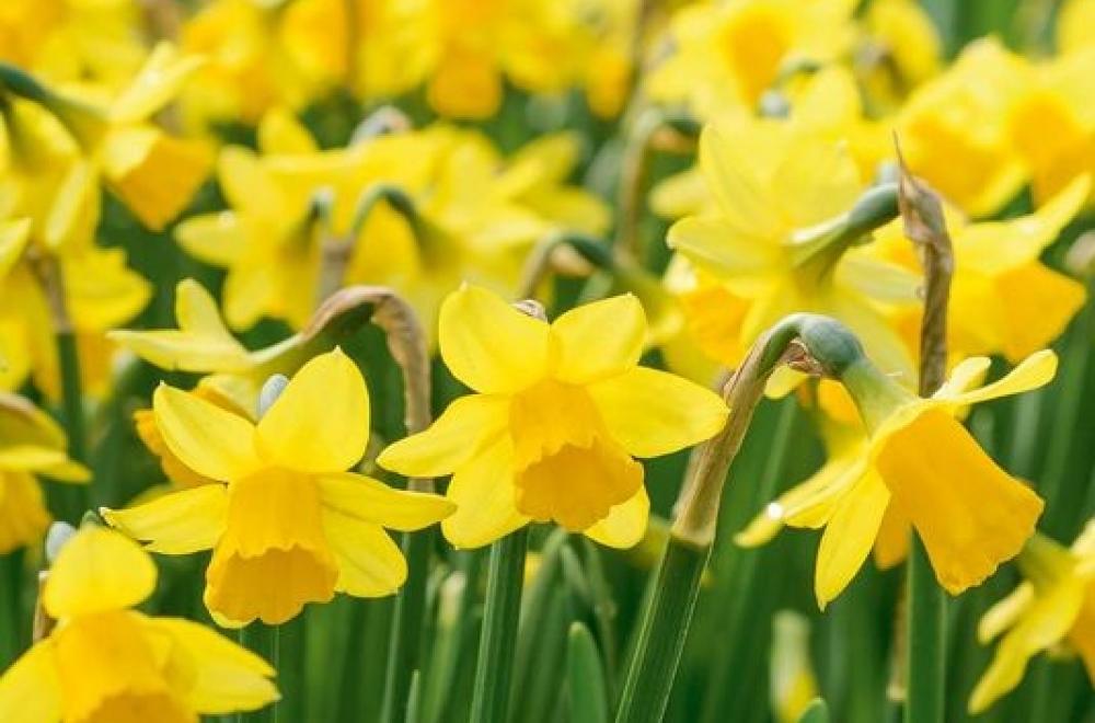 Narcisse, de Janvier à Mai