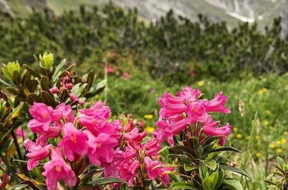 Alpinia, de Juillet à Octobre